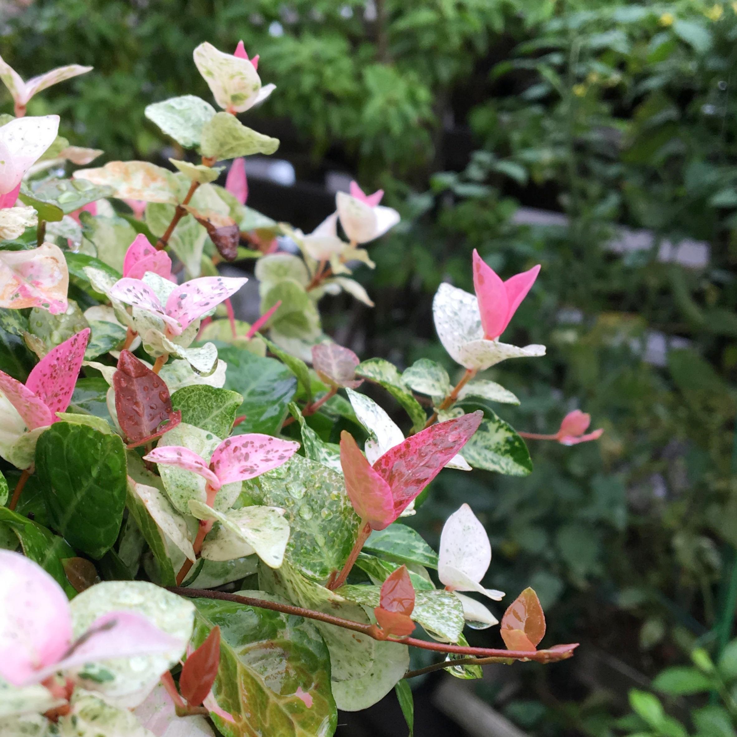 ピックアップ【紅葉する観葉植物】