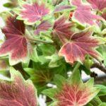 観葉植物も紅葉する?初心者にもおすすめのインテリアで季節を楽しむ植物3選!