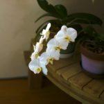 インテリアに映える!手入れが簡単で花が長持ちの「胡蝶蘭」を自宅でも