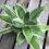 サンスベリア・ハニーは枯れにくい観葉植物!室内で育てるのにおすすめ!